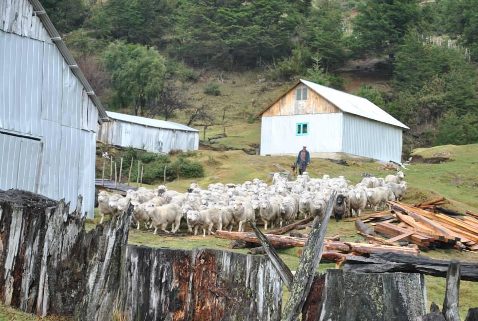 ovejas en sector el espolon futaleufu
