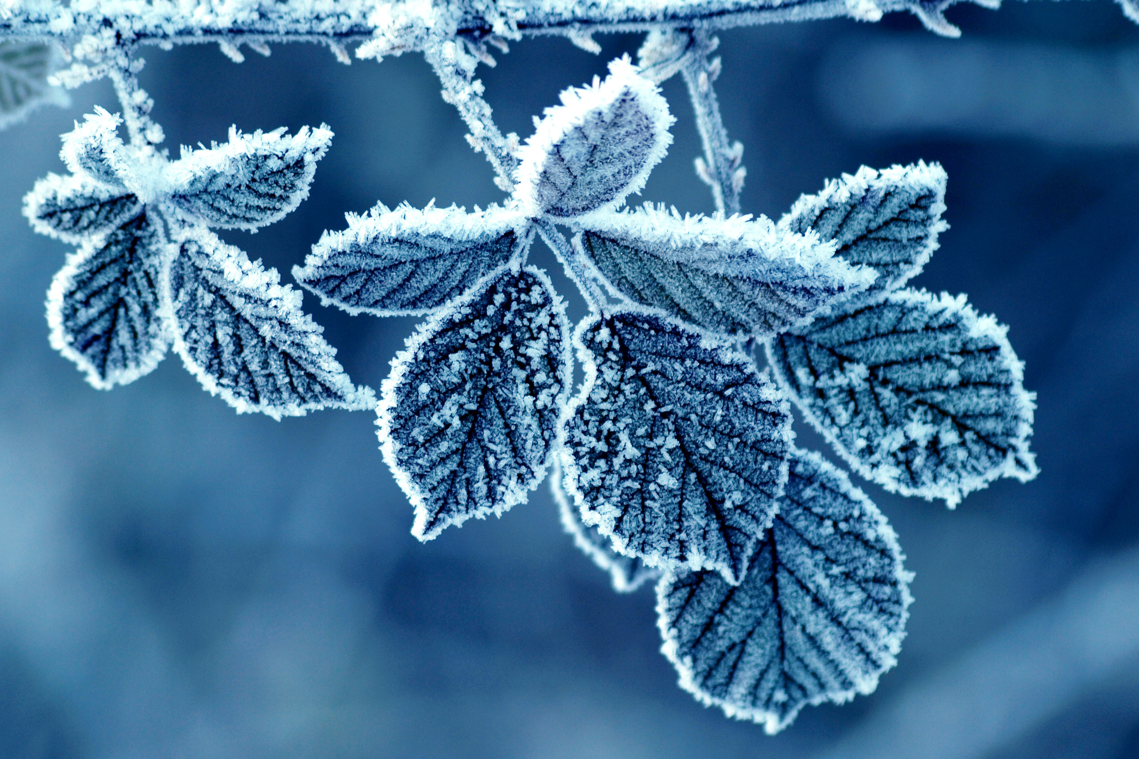 escarcha-rose-frost-frost-pattern-winter-morning